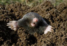 Black mole new Stock Photography