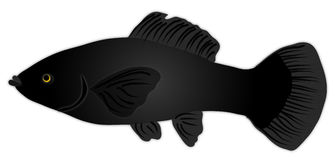 Black Molly Fish. Illustration of a female Black Molly fish Royalty Free Stock Photo