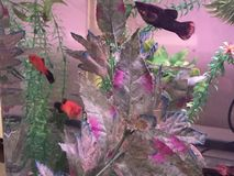 Black molly with two platies. A black molly swims around with two red wah platies Royalty Free Stock Photography