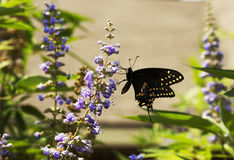 Black Monarch Butterfly Royalty Free Stock Photography