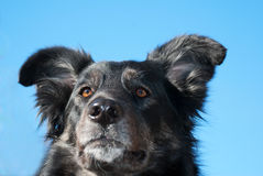 Black mongrel Stock Photos