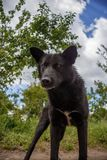 Black mongrel dog ready to fight Stock Photography