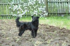 Black mongrel dog standing on freshly tilled soil at flowering fruit tree spring background Stock Photo