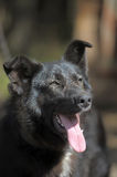 Black mongrel dog Stock Photography
