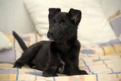 Black mongrel  puppy Royalty Free Stock Image