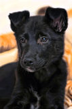 Black mongrel  puppy Stock Images