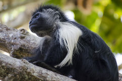 Black monkey. In africa, kenya Royalty Free Stock Photography