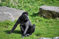 Black monkey. With funny hair sitting Stock Image