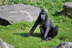 Black monkey. With funny hair sitting Royalty Free Stock Photography