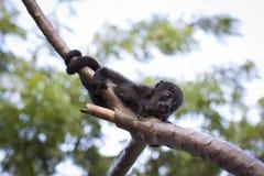 Black Monkey Hugging Tree Branch Stock Photo