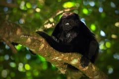 Black monkey. Mantled Howler Monkey Alouatta palliata in the nature habitat. Black monkey in the forest. Black monkey in the tree. Royalty Free Stock Photography
