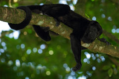 Black monkey. Mantled Howler Monkey Alouatta palliata in the nature habitat. Black monkey in the forest. Black monkey in the tree. Royalty Free Stock Images