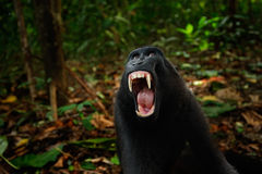 Black monkey with open mouth with big tooth, sitting in the nature habitat Celebes crested Macaque, Macaca nigra in tropical fores. T Stock Photos