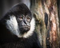 Black monkey Stock Photos
