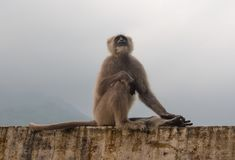 The black monkey in Rishikesh. The black Monkey on a background of mountains in Rishikesh Royalty Free Stock Photo