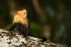 Black monkey sitting on the tree branch in the dark tropic forest. Monkey White-headed Capuchin, Cebus capucinus. Monkey in the na. Ture habitat, Costa Rica stock images