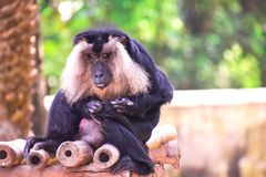BLACK MONKEY WITH WHITE HAIRS SITTING royalty free stock photo