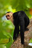 Black monkey White-headed Capuchin sitting on the tree branch in the dark tropic forest. Monkey White-headed Capuchin, Cebus. Black monkey White-headed Capuchin stock image