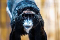 Black monkey in zoo Royalty Free Stock Photo