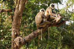 Black monkeys in tree in Rishikesh, India Royalty Free Stock Image