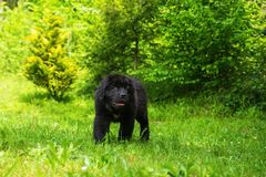 Black 2 month old puppy of Newfoundland dog. Black cute 2 month Newfoundland dog puppy standing on grass royalty free stock photo