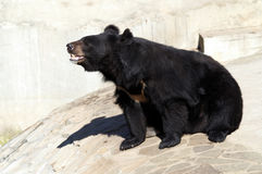 Black moon bear Stock Photography
