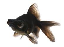 Black moor, Carassius auratus Royalty Free Stock Images