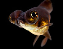 Black moor goldfish Stock Photo