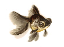 Black Moor Goldfish Watercolor Illustration Hand Drawn Stock Images