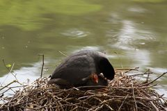 A black moorhen, in the rest on its nest royalty free stock images