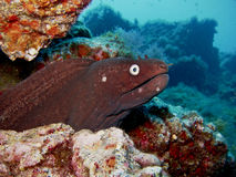 Black Moray Eel - La Palma - Spain Royalty Free Stock Photos