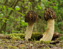 Black morel fungus (Morchella conica) Stock Photography