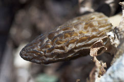 Black Morel Mushroom Royalty Free Stock Image