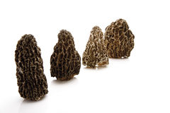 Black Morels (Morchella) Stock Photos