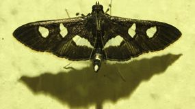Black Moth with a White Spots Royalty Free Stock Image