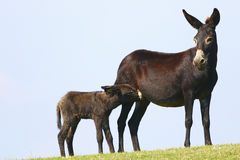 Black mother and baby donkey Royalty Free Stock Image