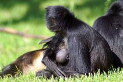 Black mom monkey breastfeed her baby royalty free stock photo