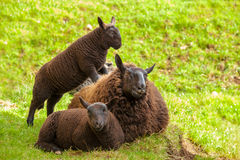 Black Mother Sheep Royalty Free Stock Photography