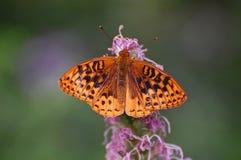 Black mottled orange butterfly Stock Images