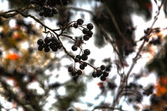 Black mountain ash on a branch Royalty Free Stock Images