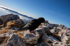 Black mountain bird Royalty Free Stock Images