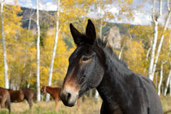 Black Mountain Horse Royalty Free Stock Photography