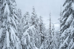 Black Mountain snowshoe trail. Winter scene taken on free Black Mountain snowshoe trail in Cypress Provincial Park Stock Image