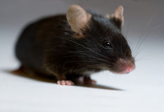 Black mouse Royalty Free Stock Photos