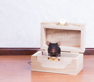 Black mouse in the chest Royalty Free Stock Photos