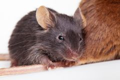 Black mouse Royalty Free Stock Photo