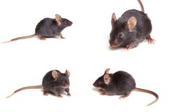 Black mouse. Photo of black mouse in different positions,  on white background Stock Photos