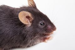 Black mouse Stock Photography