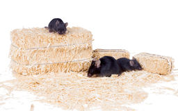 Black mouse with two little mice on the sawdust Stock Photos