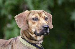 Free Black Mouth Cur Hound Beagle Mixed Breed Dog Royalty Free Stock Photography - 97703107